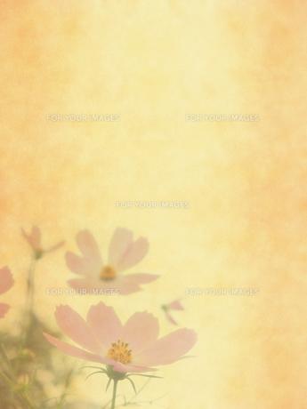 コスモスと古紙の写真素材 [FYI00424875]