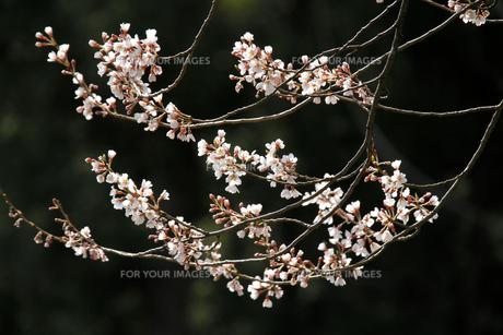 江戸彼岸の写真素材 [FYI00425006]