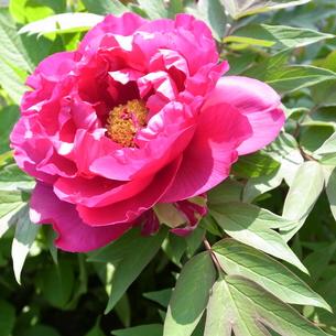 牡丹の花の写真素材 [FYI00425104]