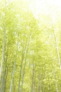 光る竹林の素材 [FYI00425136]
