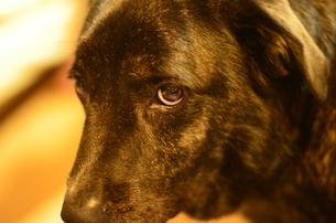 犬のまなざしの写真素材 [FYI00425144]