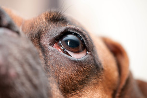 犬の半顔の写真素材 [FYI00425151]