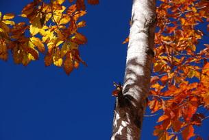 白樺の写真素材 [FYI00425610]