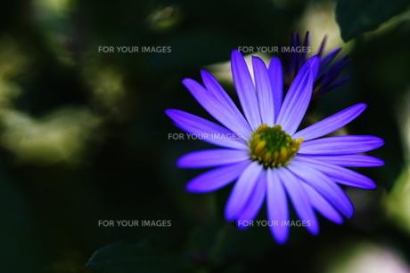 紫の花の素材 [FYI00425745]