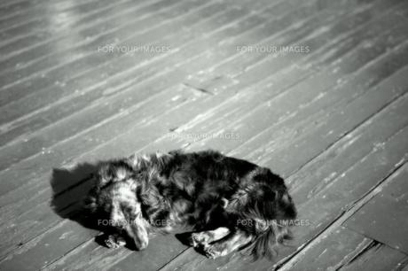ミニチュアダックスフンドの写真素材 [FYI00425852]
