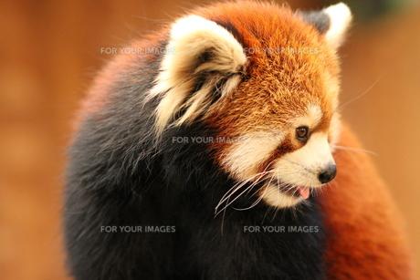 レッサーパンダの写真素材 [FYI00425859]