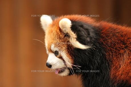 レッサーパンダの写真素材 [FYI00425871]