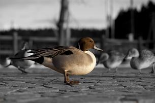 背景モノクロ鴨の写真素材 [FYI00425906]