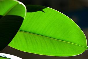 緑の葉脈の素材 [FYI00425910]
