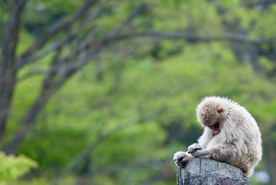 落ち込む猿の素材 [FYI00425916]