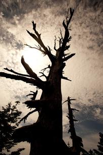 立ち枯れの木の素材 [FYI00425918]