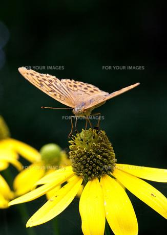 蝶と黄色い花の写真素材 [FYI00425923]