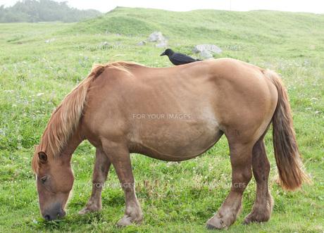 馬の背にカラスの写真素材 [FYI00425943]