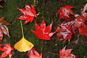 真っ赤な紅葉の落ち葉の写真素材 [FYI00425955]