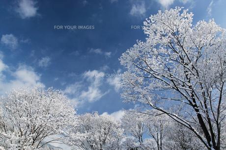 積雪した木と青空の素材 [FYI00426063]