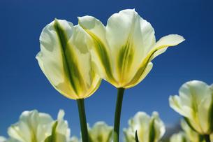 春のチューリップ畑の写真素材 [FYI00426129]