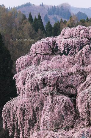 三春滝桜の写真素材 [FYI00426271]
