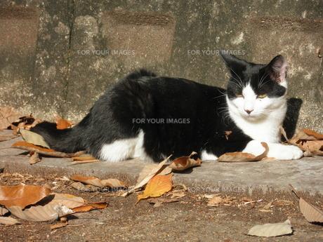 黒猫の写真素材 [FYI00427726]
