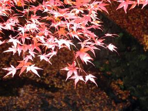 京都の紅葉の写真素材 [FYI00427824]