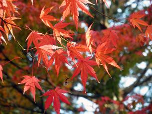 京都の紅葉の写真素材 [FYI00427825]