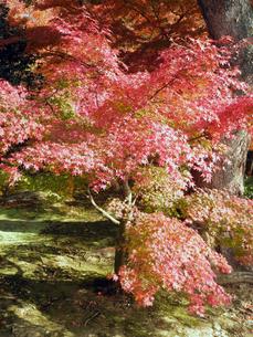 京都の紅葉の写真素材 [FYI00427826]