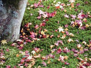 苔の上の落ち葉の写真素材 [FYI00427828]