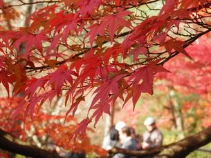 京都の紅葉の写真素材 [FYI00427830]