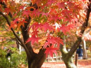 京都の紅葉の写真素材 [FYI00427842]