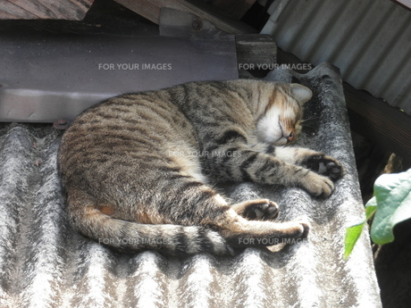 昼寝をする猫の写真素材 [FYI00427965]