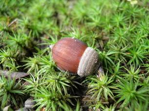 苔の上のドングリの写真素材 [FYI00428002]