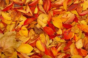 黄色い落ち葉の絨毯の写真素材 [FYI00428219]