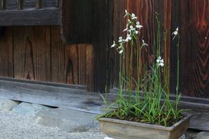 古民家と鷺草の写真素材 [FYI00428272]