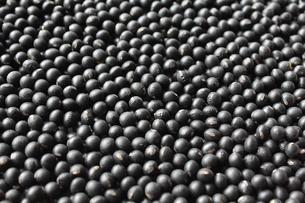 黒千石黒大豆の写真素材 [FYI00428427]