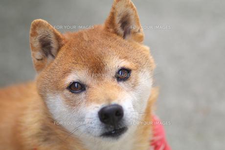 柴犬の写真素材 [FYI00428782]
