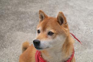 柴犬の写真素材 [FYI00428786]