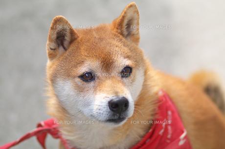 柴犬の写真素材 [FYI00428806]