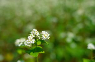 蕎麦の花(アップ)の写真素材 [FYI00428820]