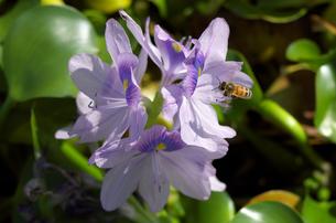 ホテイアオイとミツバチの写真素材 [FYI00428829]
