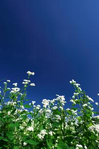 蕎麦の花と青空の写真素材 [FYI00428833]