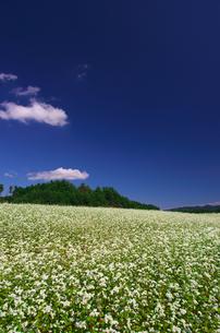 蕎麦の花(群生)の写真素材 [FYI00428841]