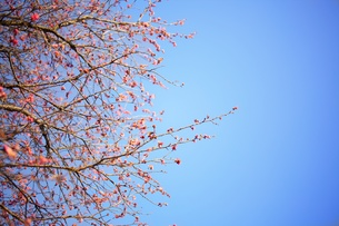 梅の写真素材 [FYI00428869]