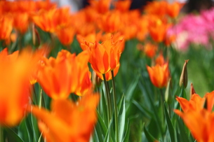 オレンジ色のチューリップの写真素材 [FYI00428881]
