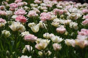 八重咲きチューリップの写真素材 [FYI00428886]