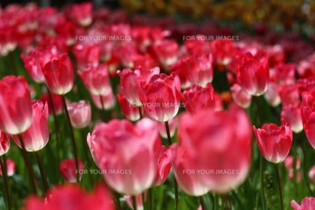 ピンクのチューリップの写真素材 [FYI00428891]