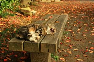 秋のベンチで猫あくびの写真素材 [FYI00428892]