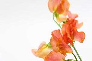 スイートピーの花の写真素材 [FYI00428920]