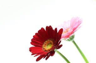 ガーベラの花の写真素材 [FYI00428924]