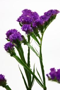 スターチスの花の写真素材 [FYI00428930]