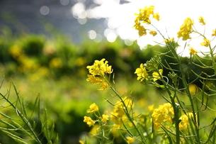 春の小川と菜の花の写真素材 [FYI00428950]