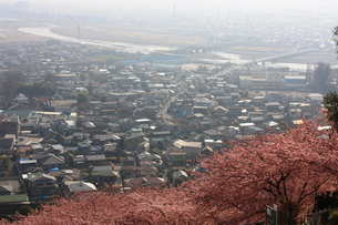 桜の山から見下ろす風景の写真素材 [FYI00428953]
